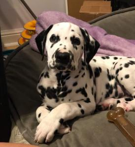A Dalmatian puppy lounging on a dog bed.