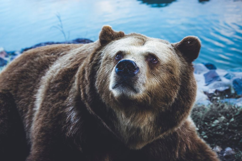 An image of a bear looking upward beyond the camera.