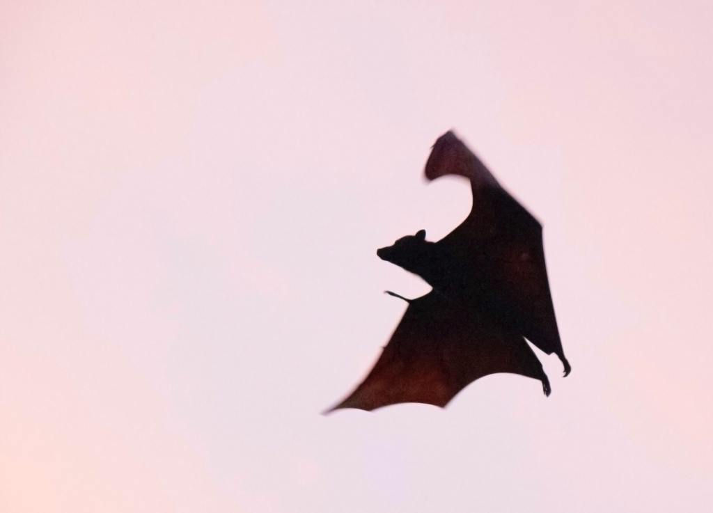 A bat flying in a sunset.
