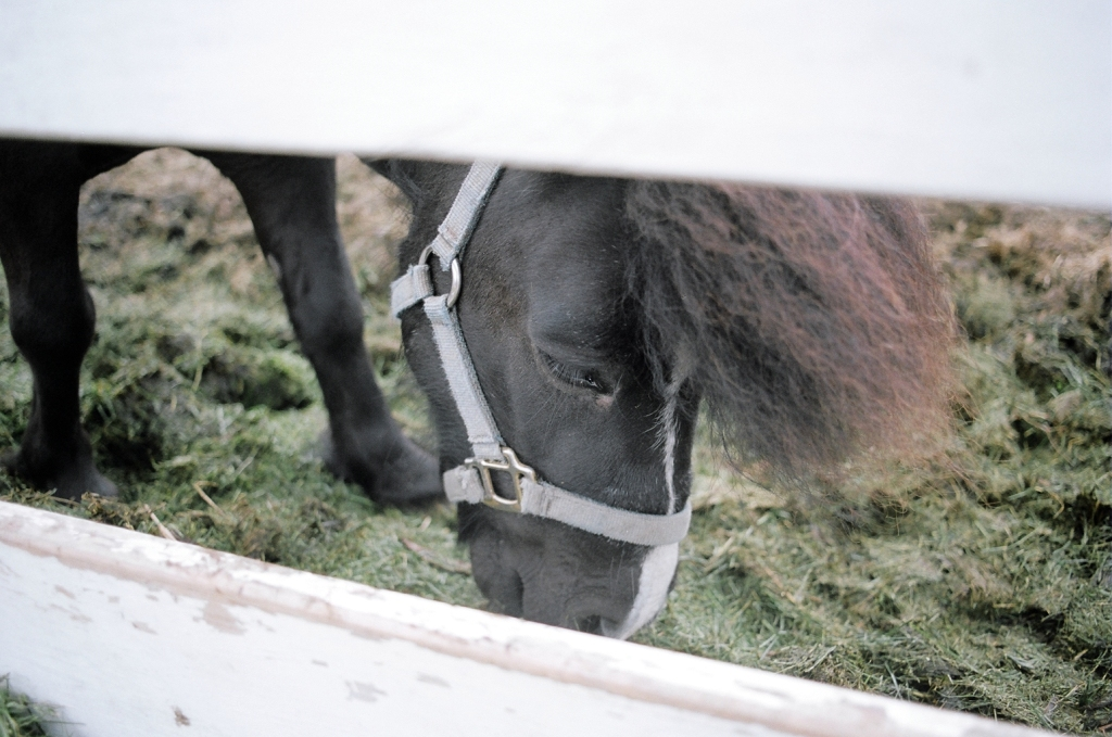 A black Newfoundland pony, wearing a harness, grazing, seen through a white fence.